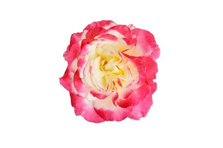 top view Double Delight Hybrid Tea Rose Stock Photo