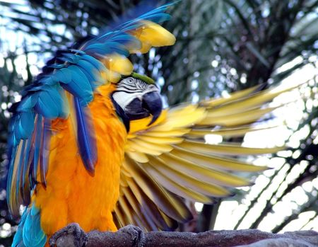 parrot flying: Blue Yellow Macaw Parrot Stock Photo
