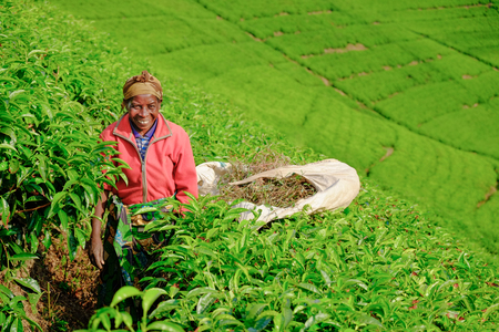 Kibuye/Rwanda - 08/26/2016: African woman worker collecting tea in plantation in Africa, in red jumper