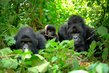 Family of mountain gorillas, incl silverback, baby, and mother looking into camera. The young baby gorilla has a stick between his teeth.