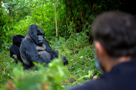 Tourist looking at mountain gorilla in African jungle. Getting very close to wildlife.