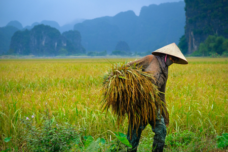 Ninh Binh / Vietnam, 09/11/2017: Local Vietnamese woman with conical hat harvesting rice with karst mountains in the background in the Tam Coc area surrounding Ninh Binh in Vietnam. Editorial