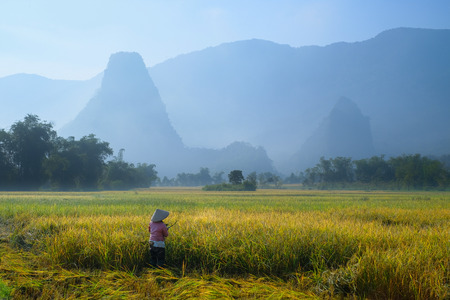 Ba Be Lakes  Vietnam, 04112017: Traditional Vietnamese woman with conical hat harvesting rice in front of mist covered karst mountains during sunrise in the North Vietnamese region of Ba Be lakes.