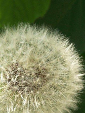 fluffy ball-shaped airy dandelion head on a dark grass background