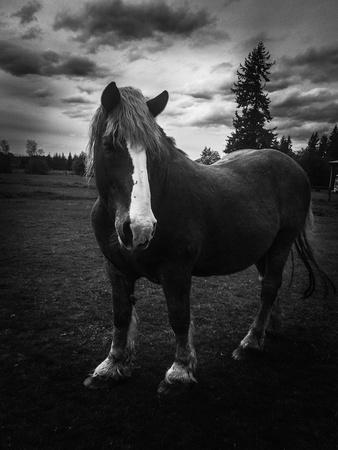 Majestic Belgium horse