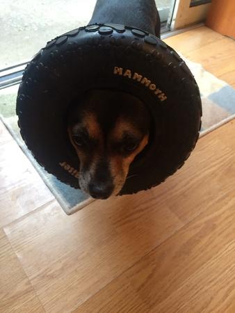 Mammoth tire on a tiny dog