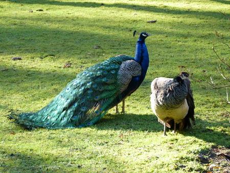 blue peafowl: A pair of peafowls