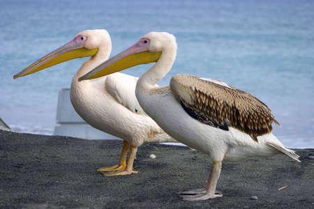 Two pelicans. Stock Photo - 223853