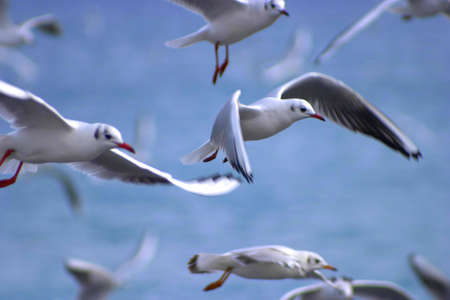 Group of seagull flying. photo