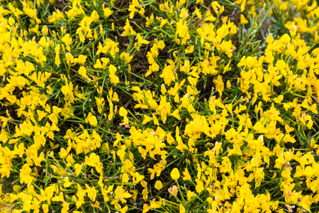 Blooming genista lydia in spring. Sunny day in the garden. Stock Photo