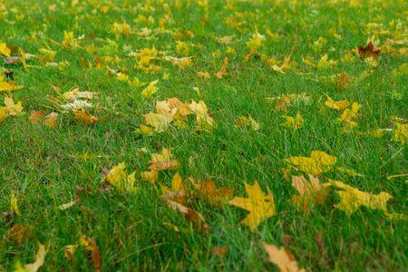 Żółte opadłe liście na zielonej trawie, jesienne liście na ziemi w pięknym jesiennym parku