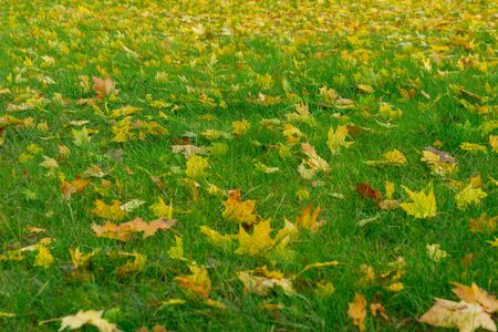 Yellow fallen leaves on green grass, autumn leaves on ground in beautiful fall park