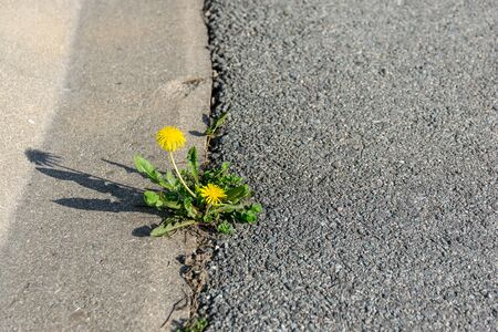 Yellow dandelion made its way through the asphalt. Nature in a city. Imagens