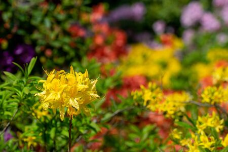yellow azalea bush in a botanical garden on a blurred background of different flowers. Фото со стока