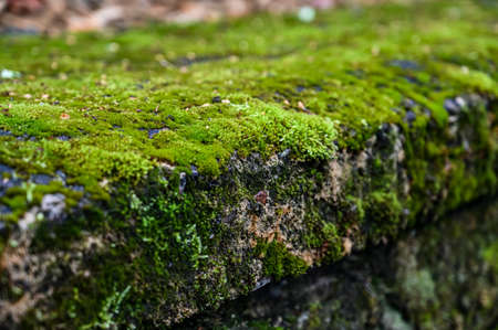 Moss grows on a mantel in the park. Bright green lichen. natural texture.