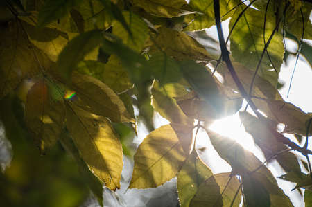 the sun shines through the dense yellow foliage and glares. A branch of a tree with yellow autumn leaves.