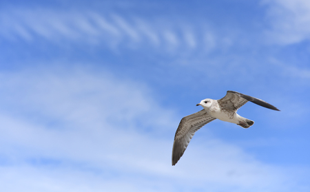 seagull flying above the Polish Baltic sea during summer