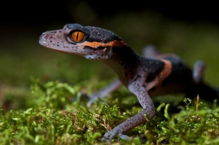 eyes cave: Goniurosaurus luii