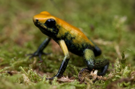 yellow and black poison dart frog: Phyllobates bicolor