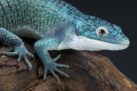 Blue alligator lizard / Abronia graminea Stock Photo