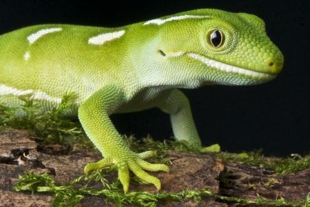 Auckland Green Gecko / Naultinus elegans elegans Stock Photo