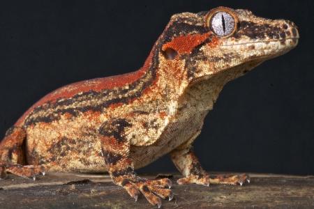 gargoyle: Gargoyle gecko  Rhacodactylus auriculatus