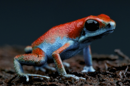 strawberry frog: Blue Strawberry Frog  Oophaga pumilio escudo Stock Photo