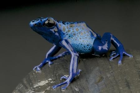 dendrobates: Azure dart frog  Dendrobates azureus