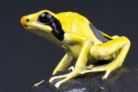 insectivorous: Yellow dart frog  Dendrobates tinctorius