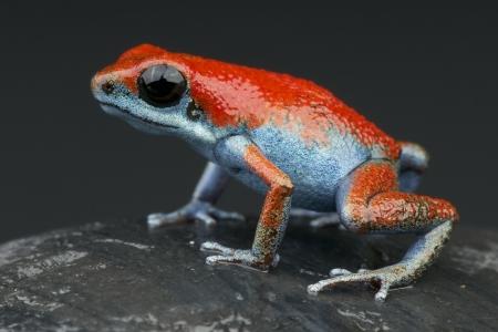 rana venenosa: Azul y rojo dardo rana  Oophaga escudo pumilio Foto de archivo