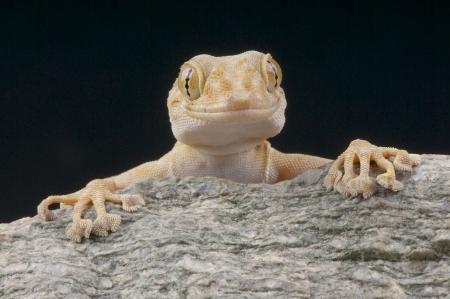 Web footed gekko  Ptyodactylus hasselquesti Stockfoto