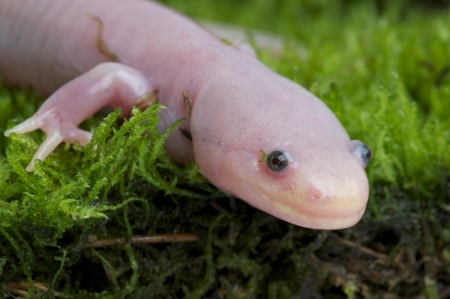 anura: Axolotl  Ambystoma mexicanum Stock Photo