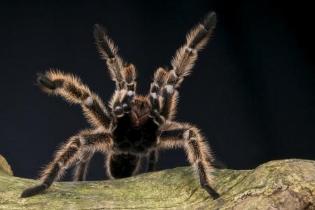 Peruvian pinktoe tarantula / Avicularia urticans Stock Photo
