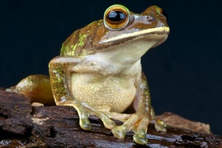 arboreal frog: Gran treefrog  Boophis albilabris Foto de archivo