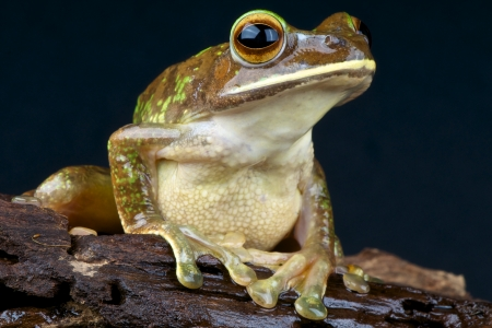 frogs: Great treefrog  Boophis albilabris Stock Photo