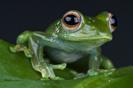 Emerald treefrog / Boophis luteus