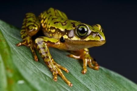 arboreal frog: Marbled treefrog  microtympanum Boophis