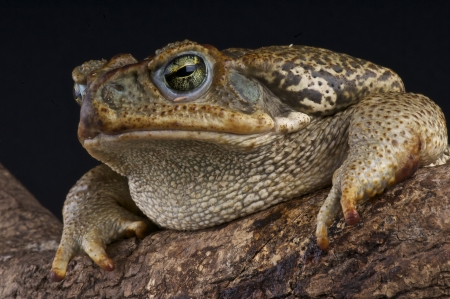 bufo toad: Giant toad  Bufo marinus