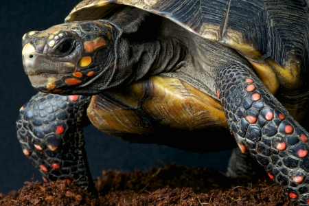 Red-footed tortoise / Chelonoides carbonaria Stock Photo