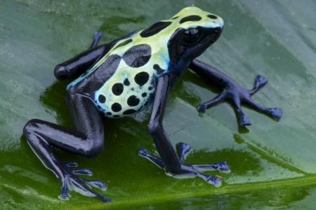 dendrobates: Dart frog  Dendrobates tinctorius