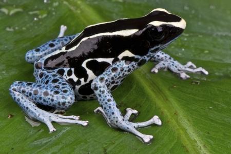diurnal: Dyed dartfrog  Dendrobates tinctorius