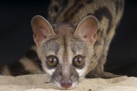 civet cat: Genet   Genetta genetta