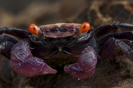 Purple vampire crab   Geosesarma sp