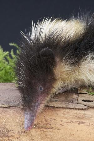 streaked: Streaked Tenrec   Hemicentetes semispinosus