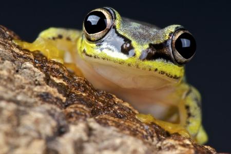 amphibia: White tree frog   Heterixalus madagascariensis