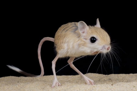 animales del desierto: Jerboa Jaculus jaculus