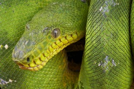 amazon rainforest: Emerald Tree Boa  Corallus caninus Stock Photo