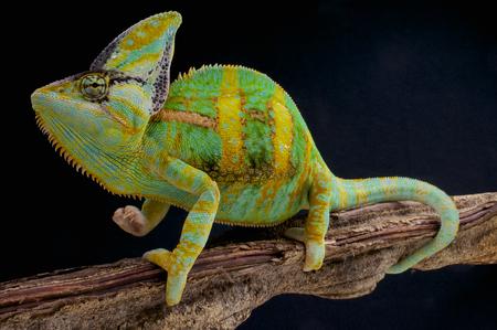 Gesluierde kameleon Chamaeleo calyptratus Stockfoto