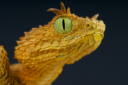 animals horned: Horned viper   Atheris ceratophora