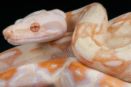 constrictor: Albino snake   Boa constrictor